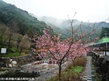 01河津桜(2009年2月27日)1