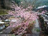 02河津桜(2009年2月27日)2