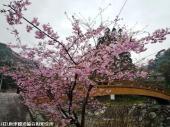03河津桜(2009年2月27日)3
