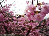 04河津桜(2009年2月27日)4