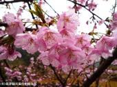 05河津桜(2009年2月27日)5