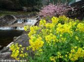 06河津桜(2009年2月27日)6