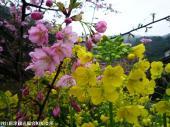 07河津桜(2009年2月27日)7