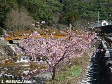 河津桜(2009年3月2日)01