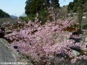河津桜(2009年3月2日)04