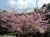 河津桜(2009年3月2日)06