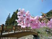 河津桜(2009年3月2日)09