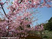 河津桜(2009年3月2日)13
