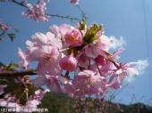 河津桜(2009年3月2日)14