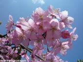 河津桜(2009年3月2日)17