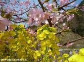 河津桜(2009年3月2日)31