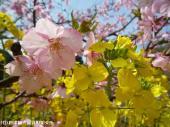 河津桜(2009年3月2日)32