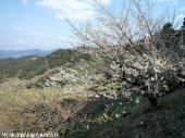 01大平展望所の梅(2009年3月2日)01
