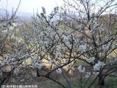 03大平展望所の梅(2009年3月2日)06