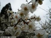 大平展望所近くの梅(2009年3月9日)04