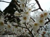 大平展望所近くの梅(2009年3月9日)05