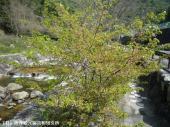 ホタル橋の河津桜(2009年3月17日)01