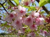 ホタル橋の河津桜(2009年3月17日)02