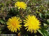 山道に咲いていた花(2009年3月31日)05