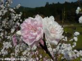 山道に咲いていた花(2009年3月31日)08
