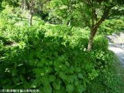 07.ホタル橋川向こう(2009年5月11日)01