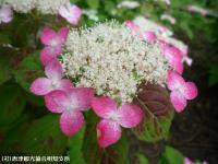 21.山あじさい(2009年6月7日)01