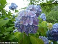 06.ほたる橋市道側(2009年6月10日)04