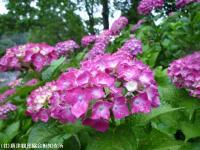 10.ほたる橋川向こう側(2009年6月10日)04