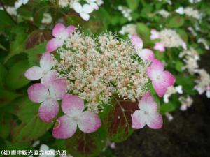 山あじさい(2009年6月4日)