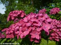 10.ほたる橋川向こう側(2009年6月18日)04