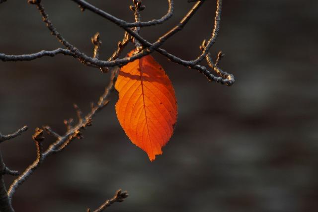 サクラの葉2