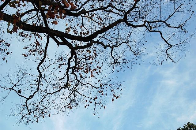 センダの木