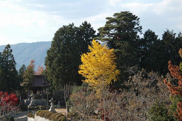 銀杏の木1