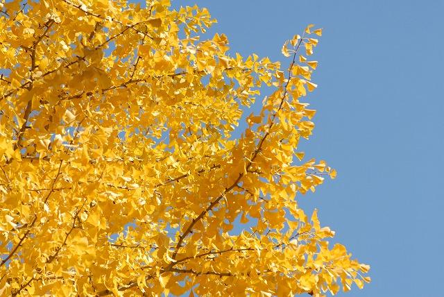 銀杏の木3