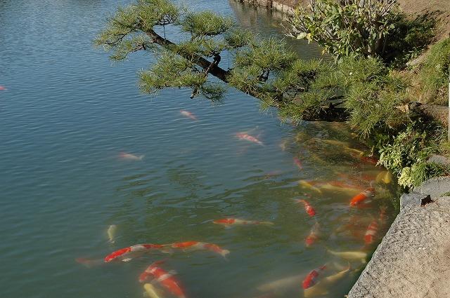 沢の池の鯉