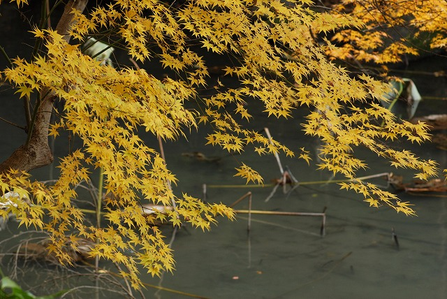 花葉の池6