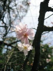 細い桜の木でしたが、一所懸命生き綺麗な桜を咲かせ、生命の力を感じました。