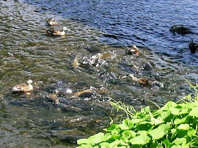 巨大鯉とカルガモの餌争奪戦!!