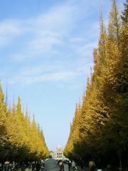 神宮外苑 銀杏