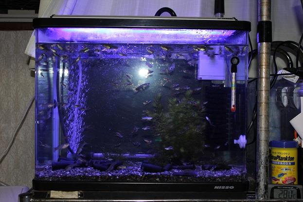 熱帯魚 水槽買い換えました。