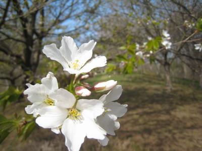 IMG_3178桜