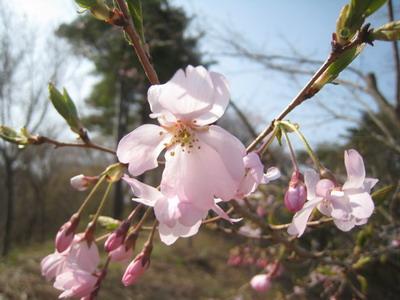 IMG_3190桜