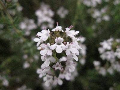 IMG_0339タイムの花