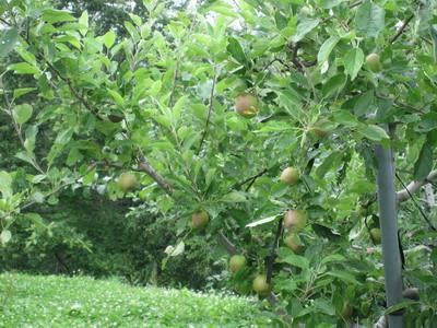 IMG_0782りんご