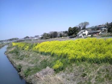 いつもの川土手の菜の花
