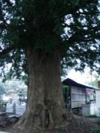 石田寺の大木