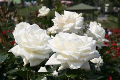 薔薇その1