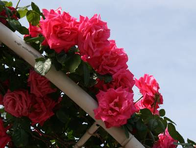 薔薇その5
