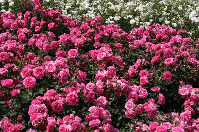薔薇その3