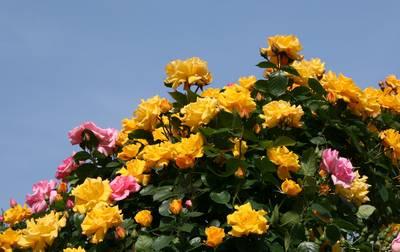 薔薇その4